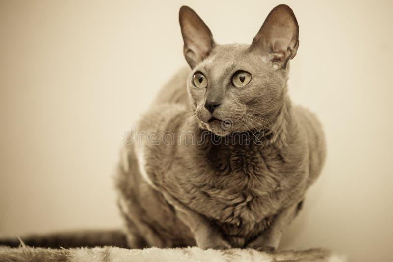 Животные дома египетский портрет кота mau стоковые фото