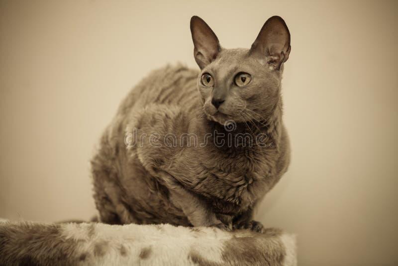 Животные дома египетский портрет кота mau стоковое изображение