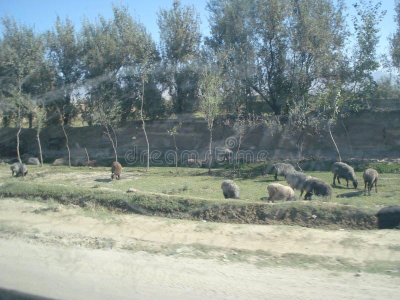 Животные пася в Афганистане стоковые изображения