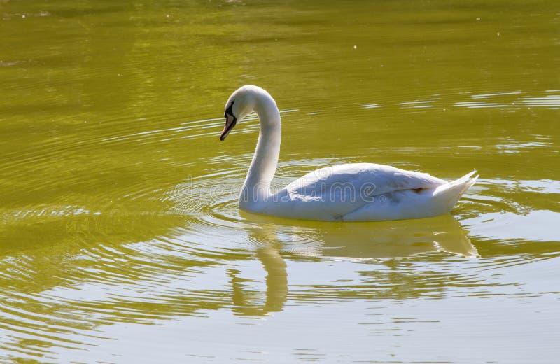 животные птицы лебедя стоковое фото