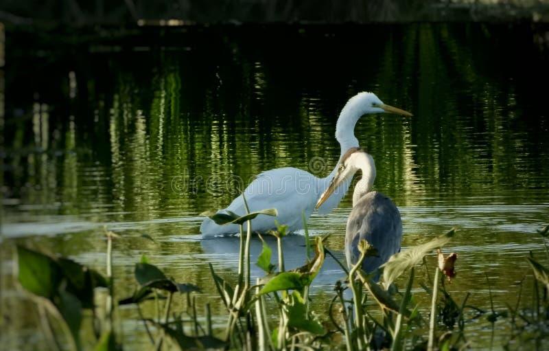 Животные птицы смотрят в озере вокруг парка природа на открытом лесу стоковое фото rf