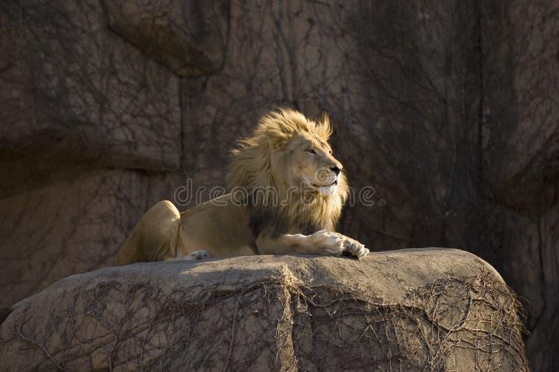 животный король стоковые изображения