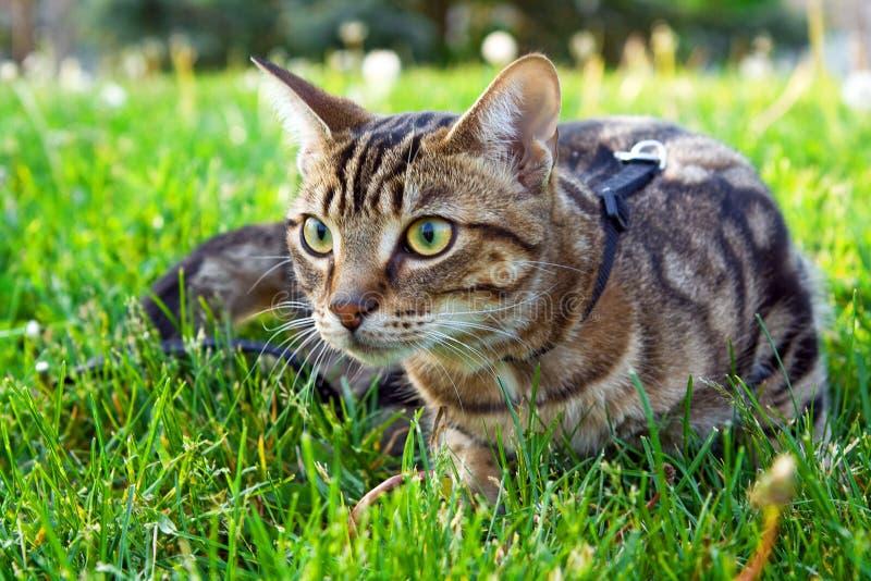 Животный котенок кота идя для прогулки снаружи на летний день на поводке стоковые фотографии rf