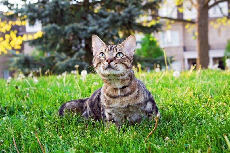 Животный котенок кота идя для прогулки снаружи на летний день на поводке стоковая фотография