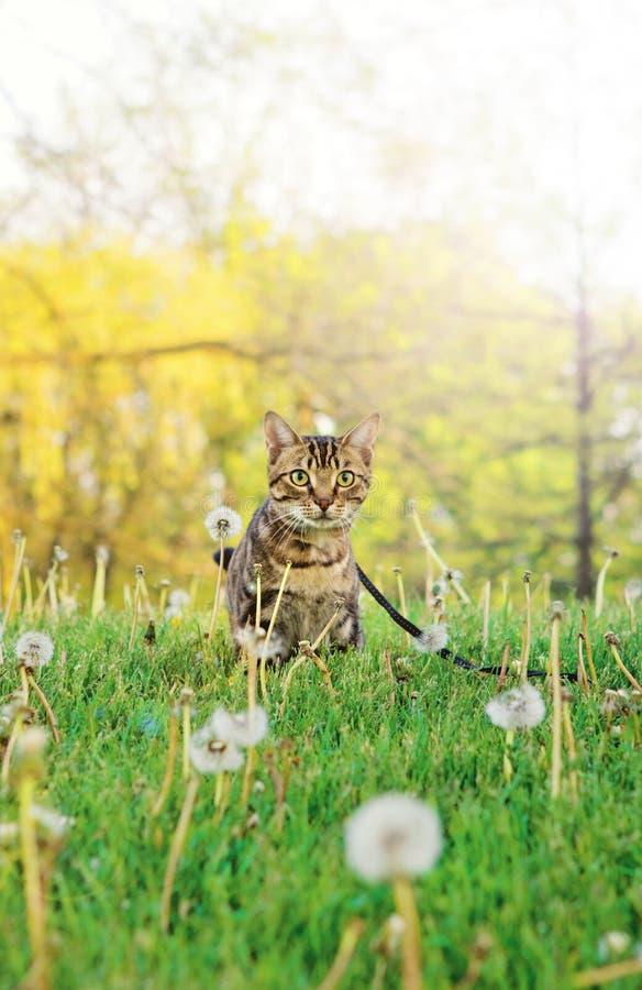 Животный котенок кота идя для прогулки снаружи на летний день на поводке стоковое изображение