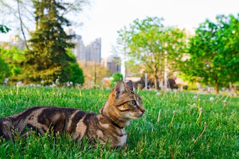 Животный котенок кота идя для прогулки снаружи на летний день на поводке стоковая фотография rf