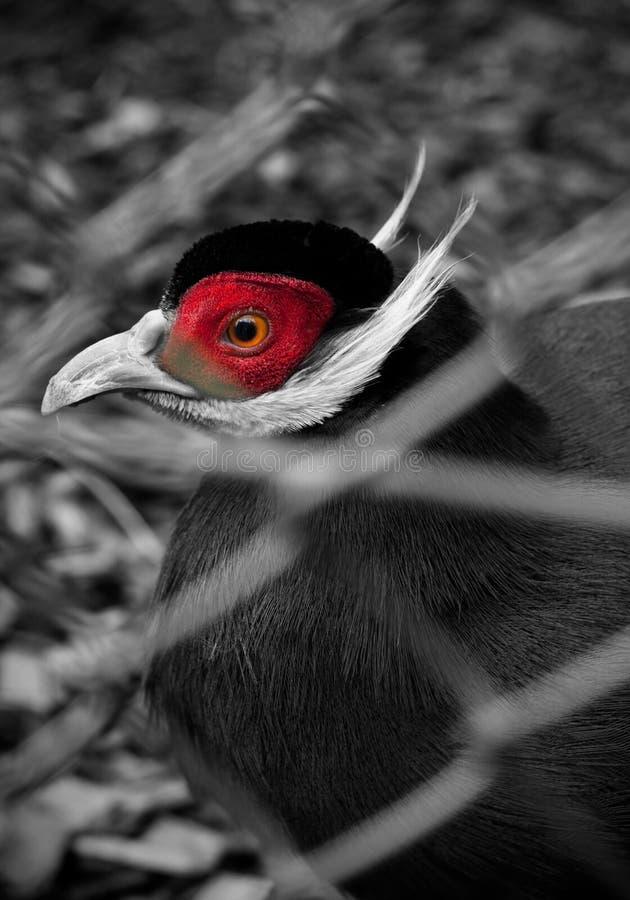 Животный портрет Закройте вверх головы фазана Красивый дикий фазан в зоопарке стоковое фото
