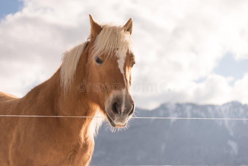 Животный портрет Лошадь Haflinger на горах зимы предпосылки стоковые фото