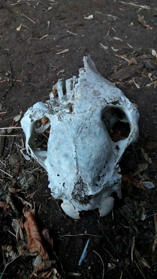Животный череп в лесе стоковое изображение