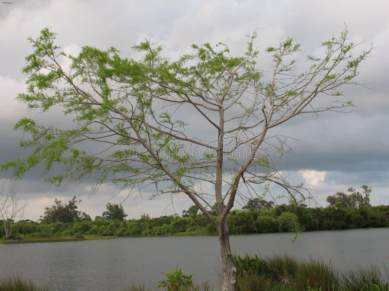 Живущее дерево стоковое изображение rf