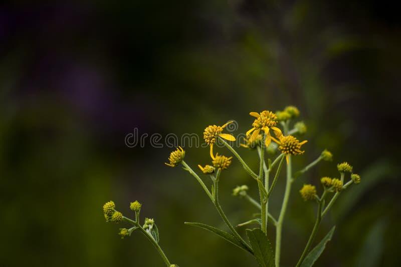 Живые желтые Wildflowers - большая косточка вылижите парк штата - Кентукки стоковое фото