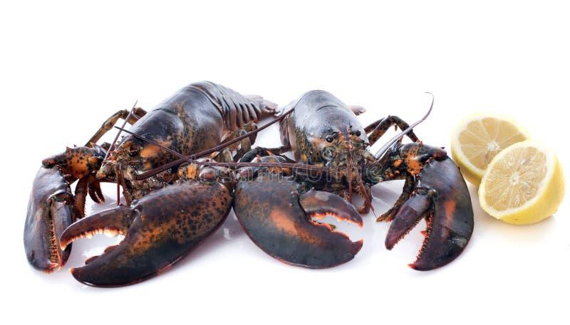 Живые омары стоковая фотография rf
