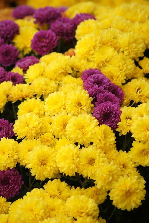 Живые цвета хризантем стоковые фотографии rf