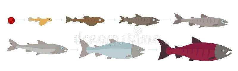 Жизненный цикл Атлантического лосося Стадии роста лососося Рост лососося Кохо от яйца к жарке Сокей иллюстрация штока