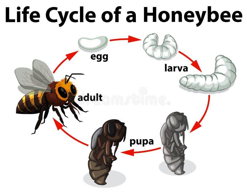 Жизненный цикл пчелы иллюстрация штока