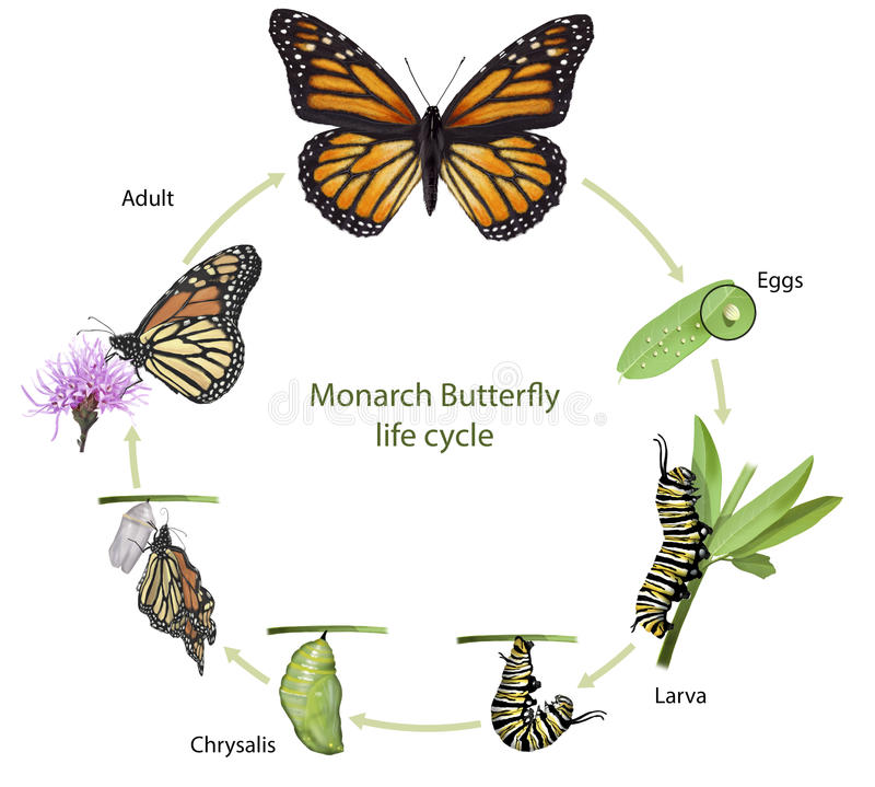 Жизненный цикл бабочки монарха стоковая фотография rf