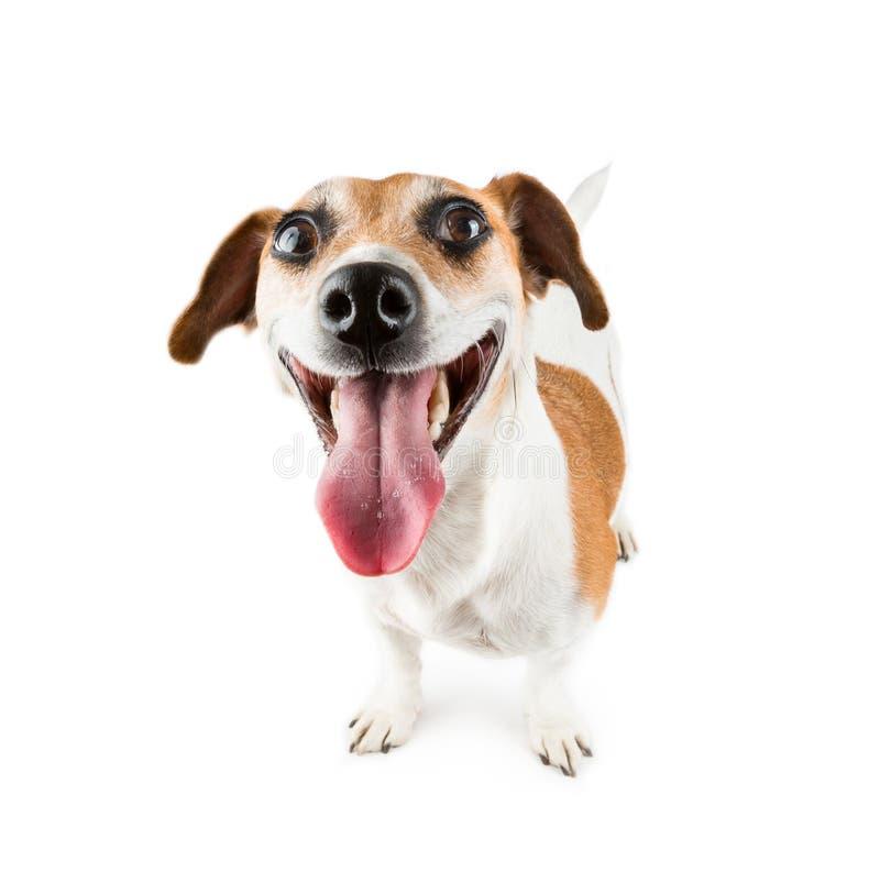 Жизнерадостная усмехаясь собака стоковые изображения rf