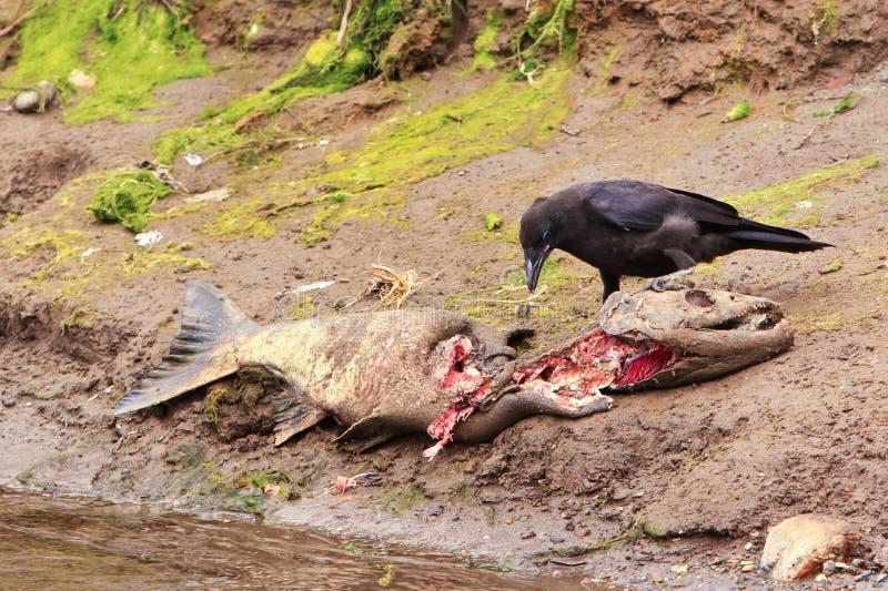 Жизнь и смерть Spawn столба Аляски Salmon стоковое фото