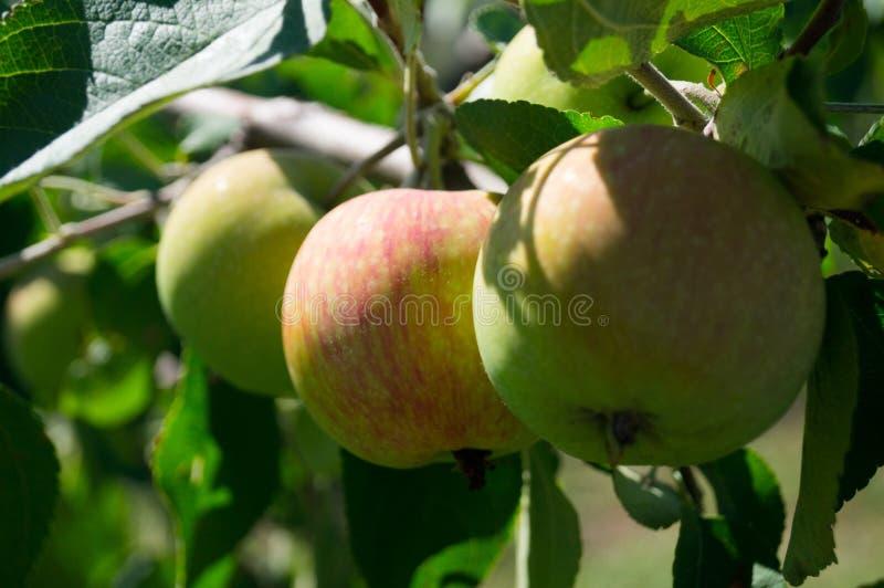 жизнь котенка коровы страны кота ветвь яблок яблока fruits сад листьев Украина стоковая фотография