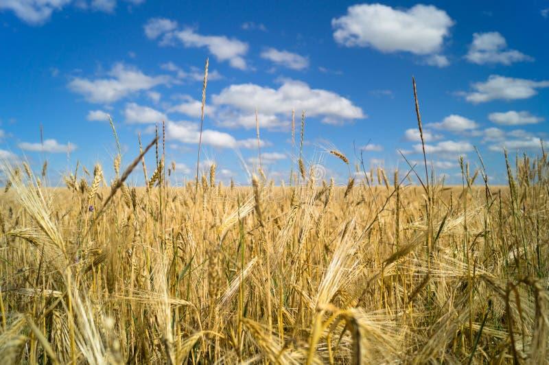 жизнь котенка коровы страны кота пшеница лета поля дня горячая Украина стоковые фотографии rf