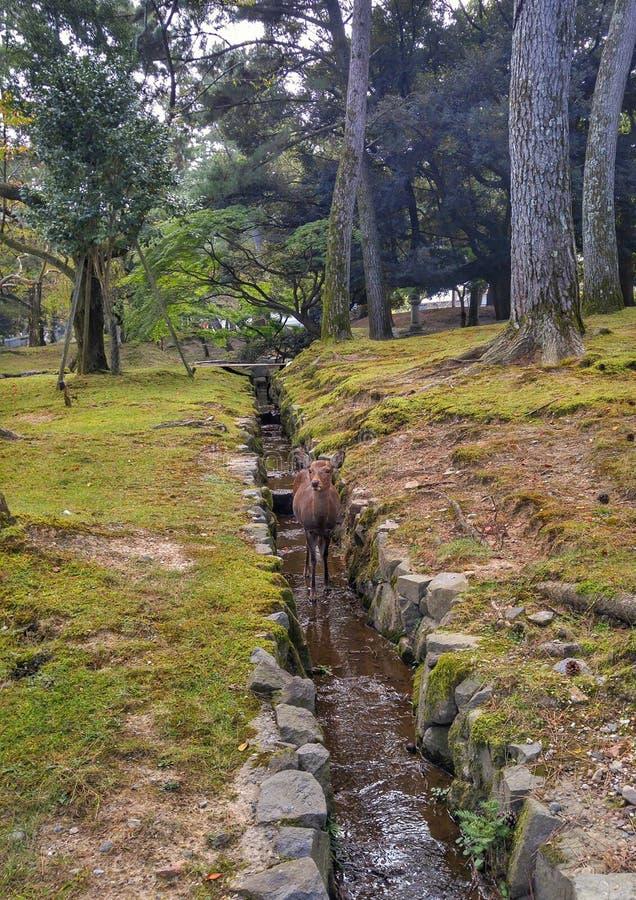 Жизнь оленей на парке стоковые фото