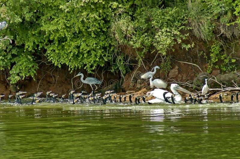 Жизнь птиц озера Kerkini стоковые фото
