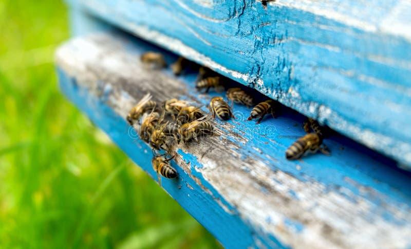 Жизнь пчел Пчелы работника Пчелы приносят мед стоковые изображения