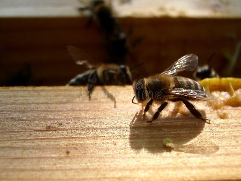 Жизнь пчел Пчелы работника Пчелы приносят мед стоковые изображения rf