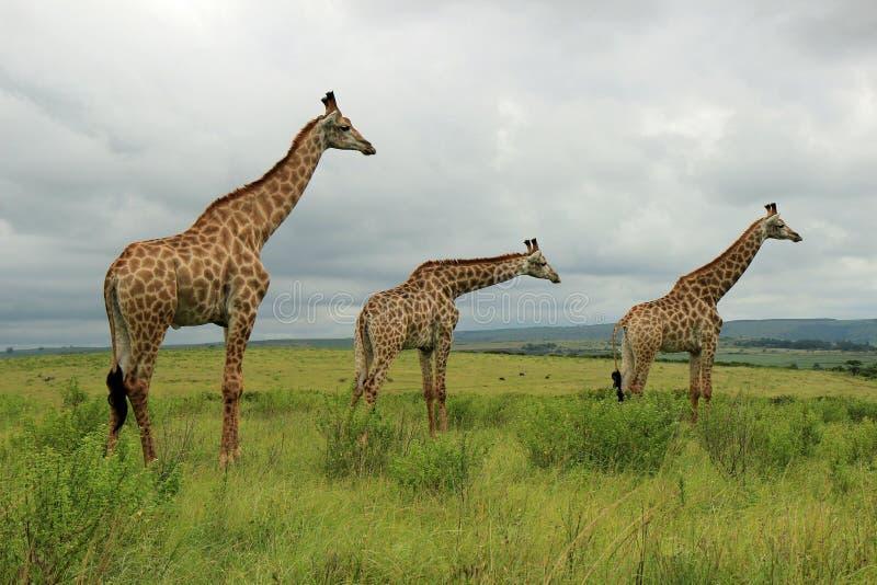 Жирафы в запасе игры Tala, Южной Африке стоковые фото