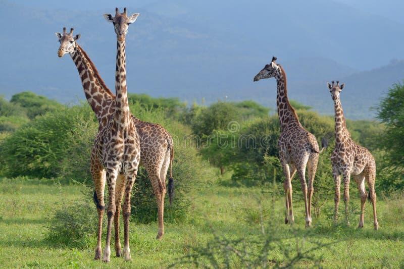 Жирафы в savana стоковое фото
