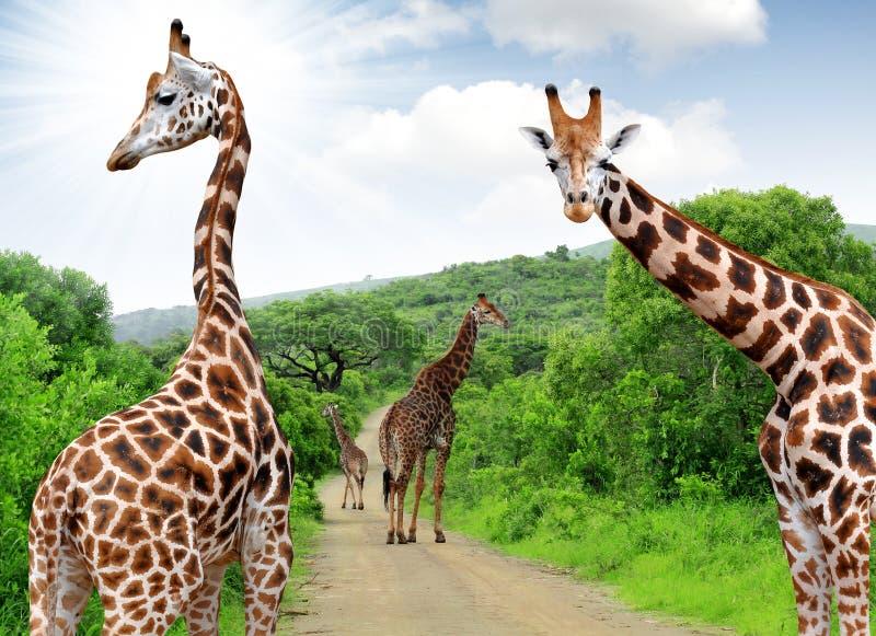 Жирафы стоковая фотография rf