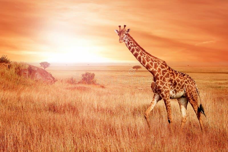 Жираф в африканской саванне на заходе солнца Одичалая природа Африки стоковая фотография rf