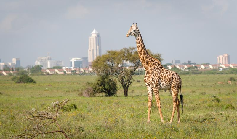 Жираф в городе Найроби столица Кении стоковое фото rf