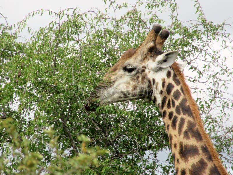 Жираф в заповеднике стоковое фото rf