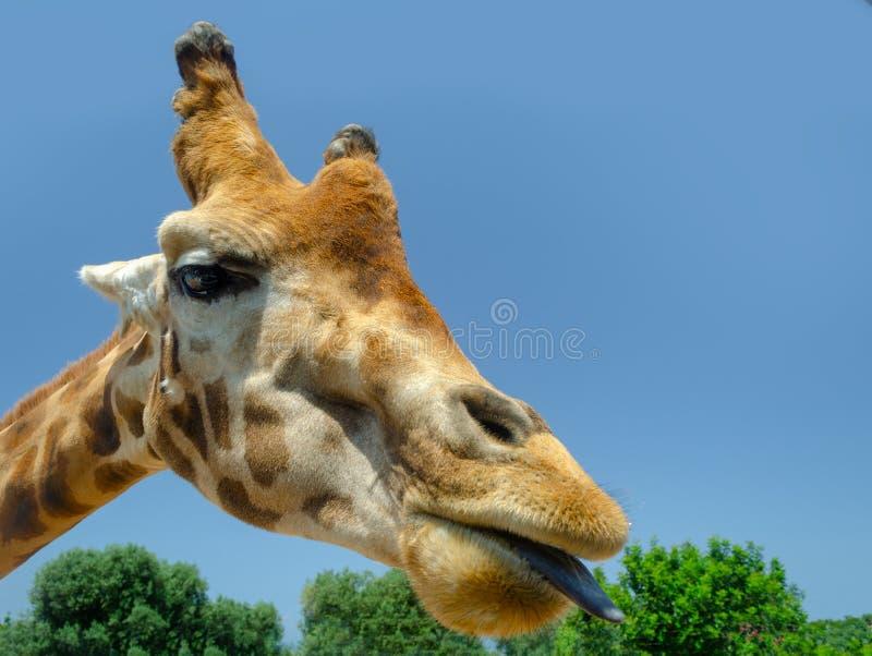 Жираф в зоопарке Италии сафари apulia Fasano стоковое фото