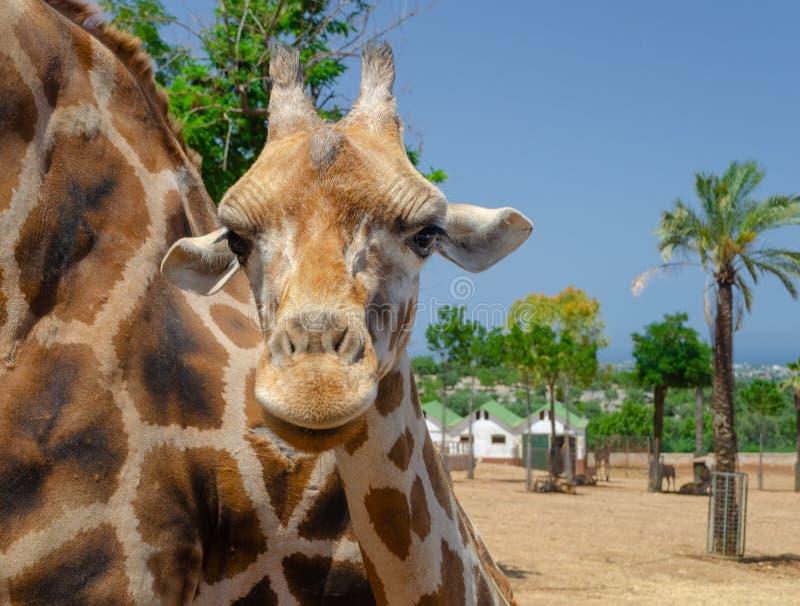 Жираф в зоопарке Италии сафари apulia Fasano стоковое изображение rf