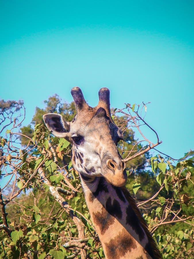 Жираф в национальном парке Танзании serengeti стоковые изображения rf