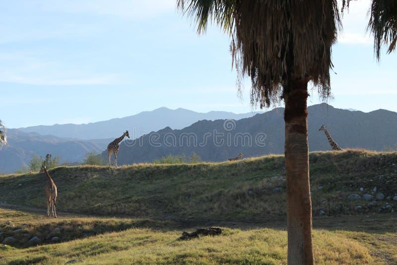 Жираф в предпосылке горы леса стоковая фотография