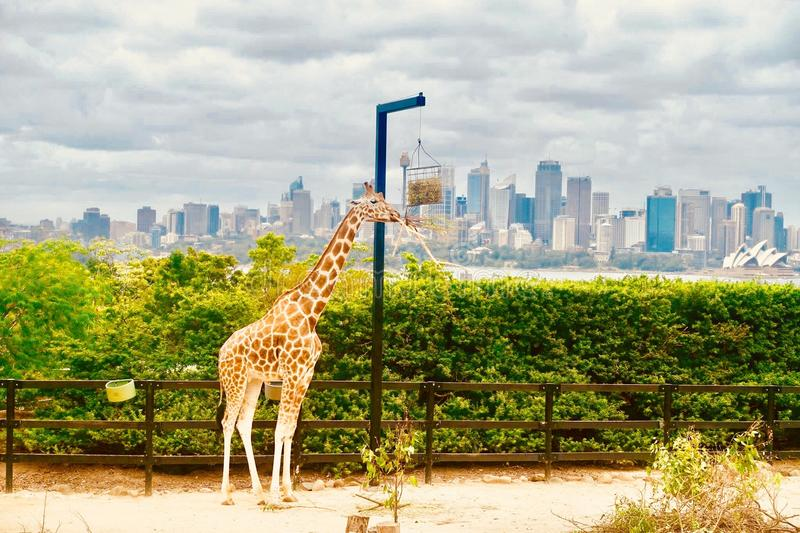 Жираф в Сиднее стоковые фотографии rf