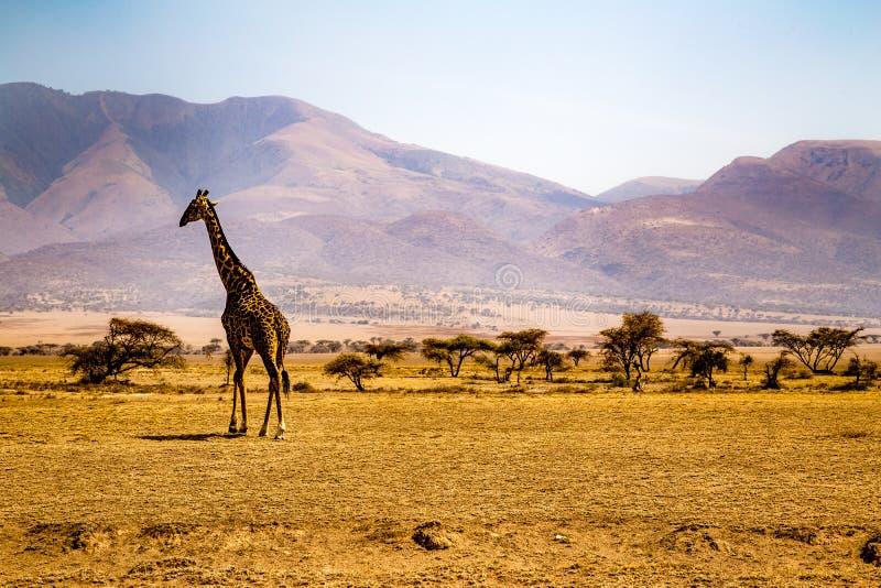 Жираф в Serengeti стоковая фотография