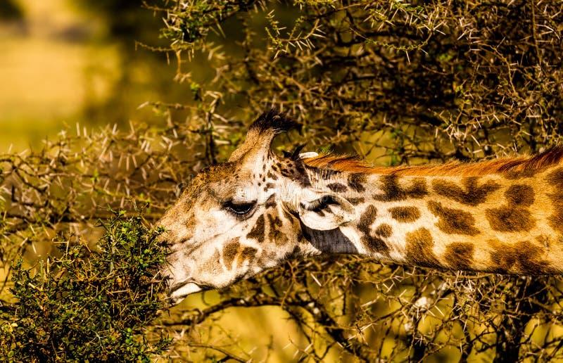 Жираф в Serengeti стоковая фотография rf