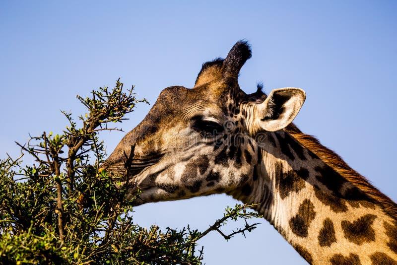 Жираф в Serengeti стоковые фото