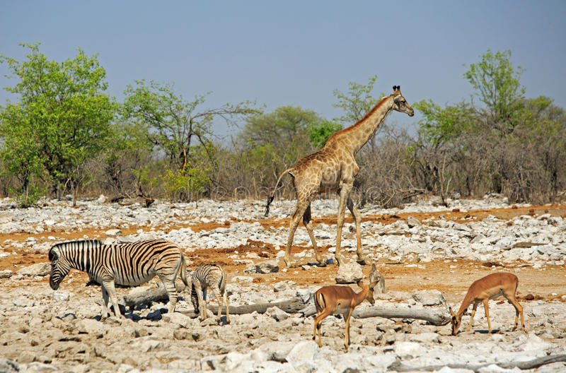 Жираф готовит waterhole окруженное прыгуном и зеброй стоковые изображения rf