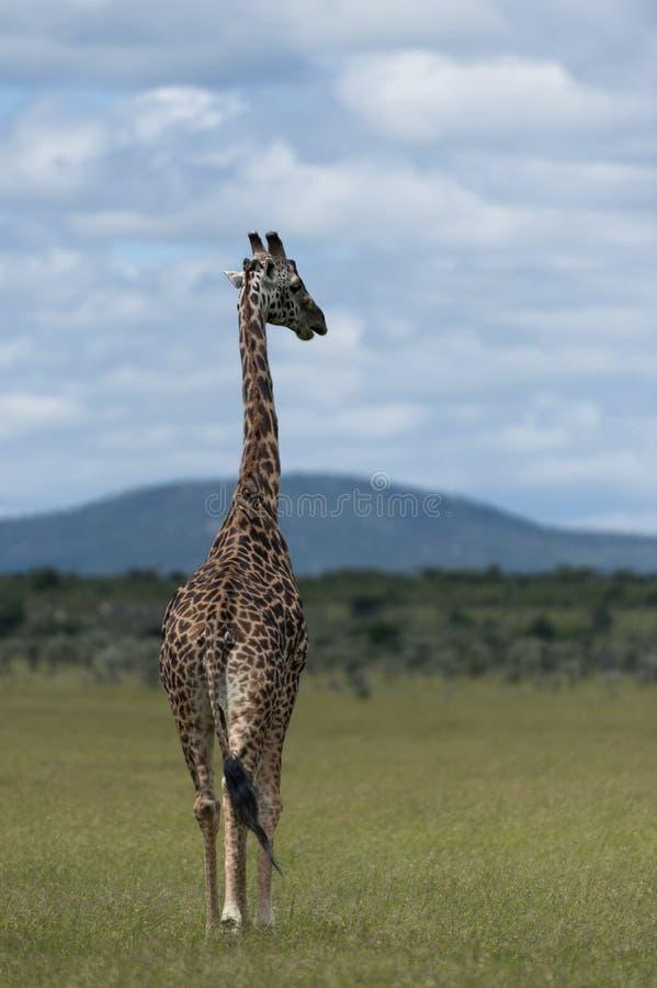 Жираф идя прочь к голубому облачному небу стоковое изображение