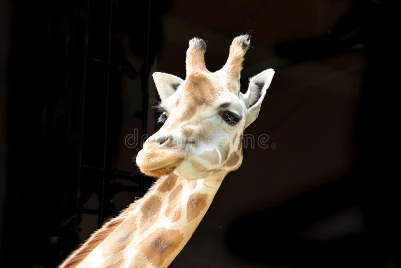 Жираф изолированный на черной предпосылке стоковое изображение