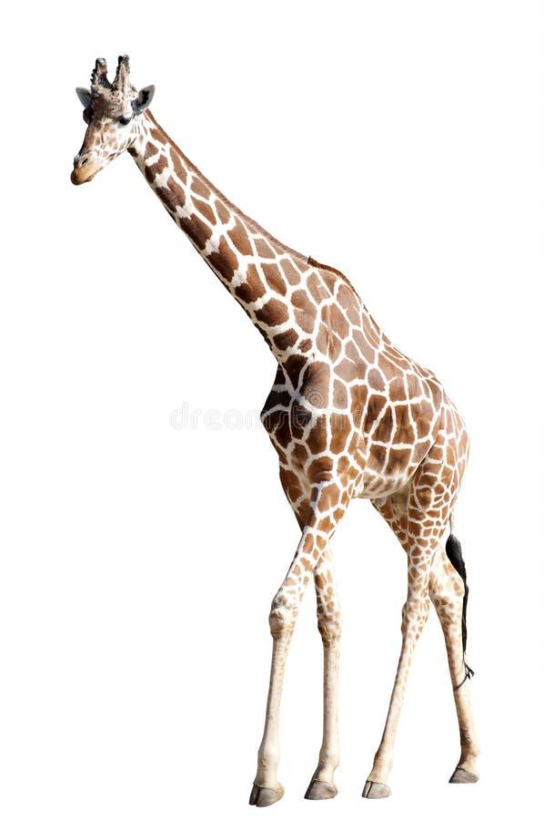 Жираф изолированный на белизне стоковая фотография