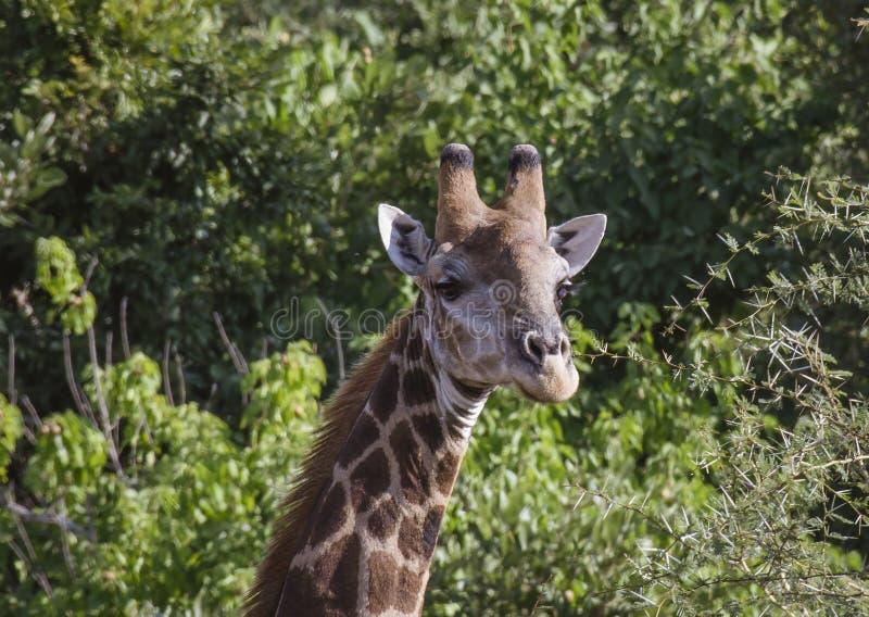 Жираф или Giraffa, головная камера облицовки стоковые изображения