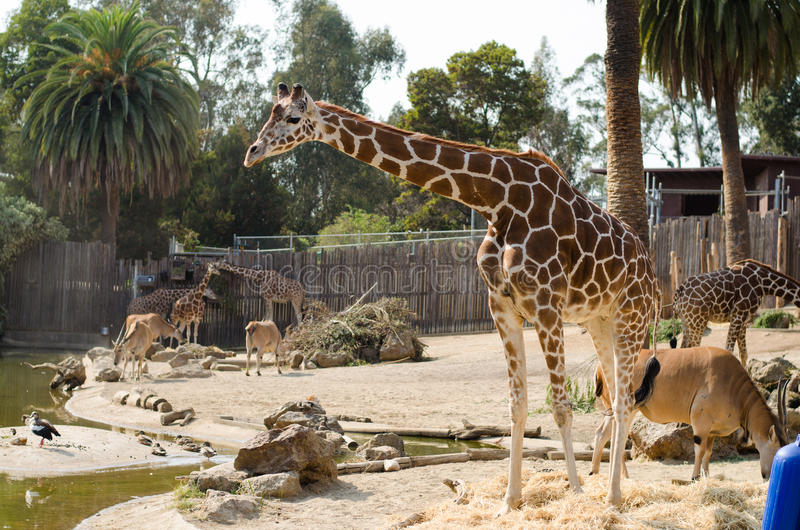 Жираф и антилопа на зоопарке стоковые изображения