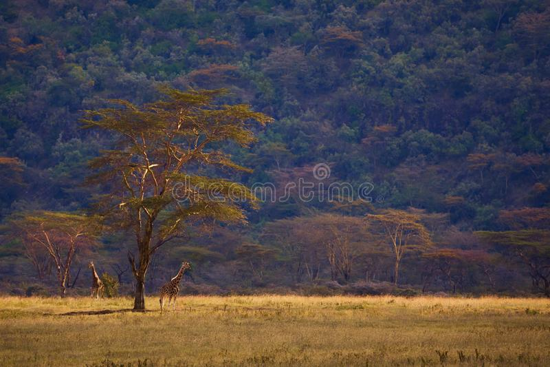 Жираф и деревья в саванне Кении африканца стоковые фотографии rf