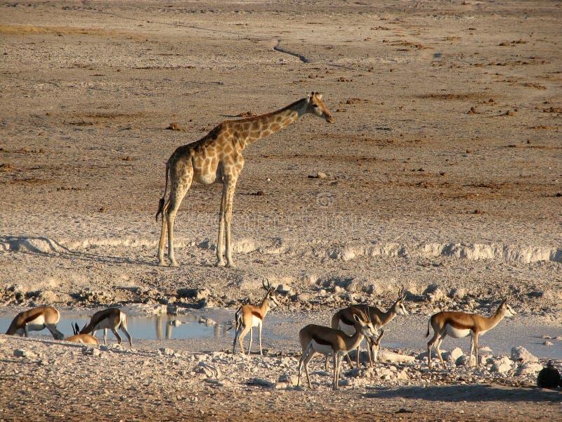 Жираф и прыгун на бассейне стоковая фотография rf